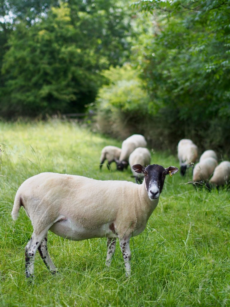sheep at Cotswolds