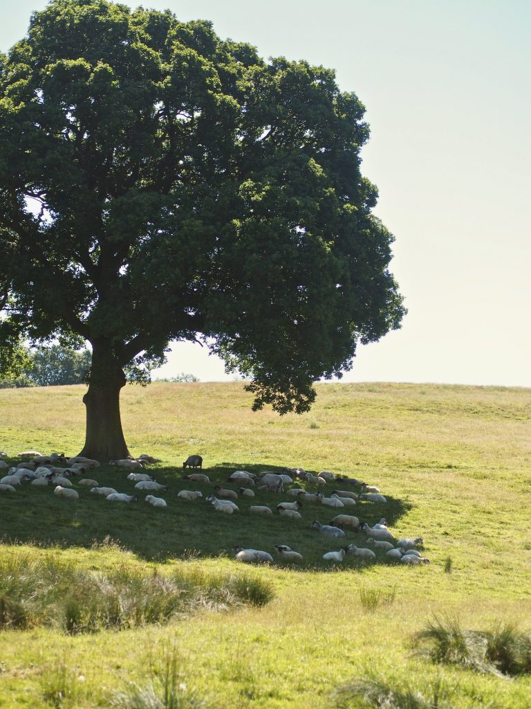 sheep resting under the shade of a very large tree